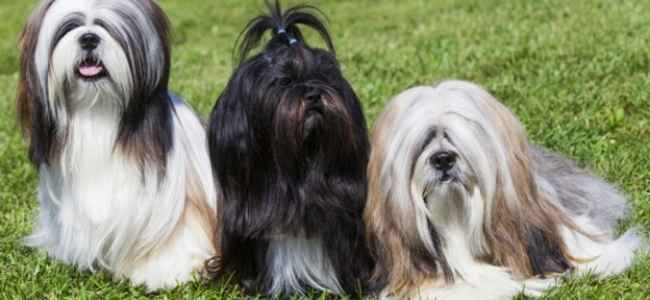 Things You Didnt Know About The Lhasa Apso